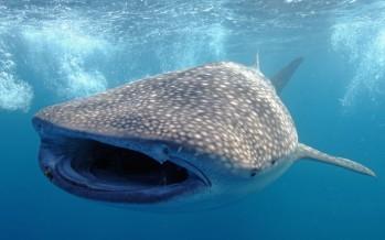 Il nage en se tenant à un requin-baleine !