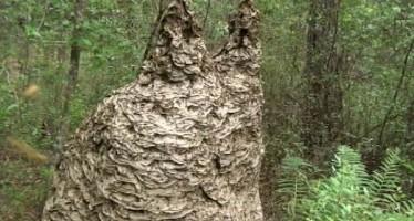 Des millions de guêpes dans une seule ruche