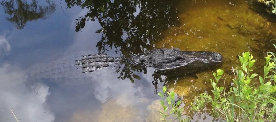 L'alligator de Floride en danger