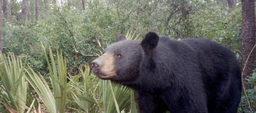 La Floride va-t-elle ouvrir la chasse à l'ours ?
