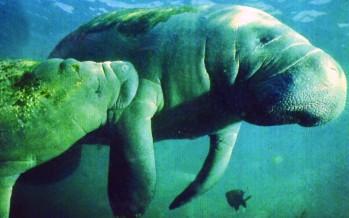Nager avec les lamantins en Floride