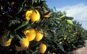 Tout sur les oranges, pamplemousses et agrumes de Floride