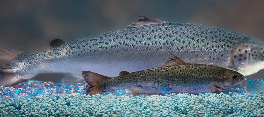 Le 1er animal transgénique bientôt dans vos assiettes : le saumon «aquadvantage»