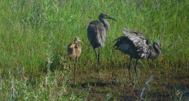 La Grue de Floride : un si bel oiseau en danger