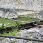 Iguane au Parc d'Etat de Floride Windley Key Fossil Reef Geological