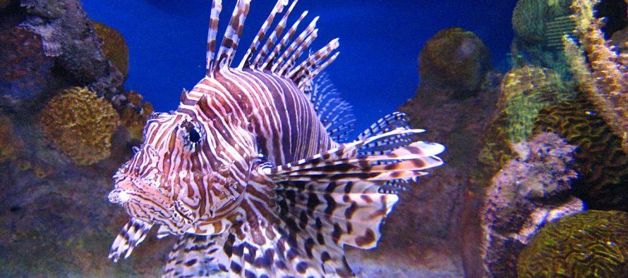 Le poisson-lion : ce bel intrus qui dévore les mers des Caraïbes