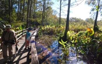 Visiter le Corkscrew Swamp Sanctuary (Audubon Center) près de Naples en Floride