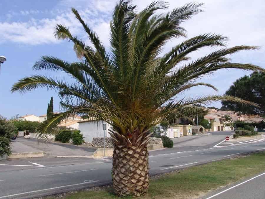 Palmier kincha ou phoenix le courrier de floride - Quand tailler un palmier ...