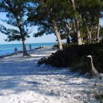 Héron bleu sur la plage d'Anna-Maria Island en Floride.