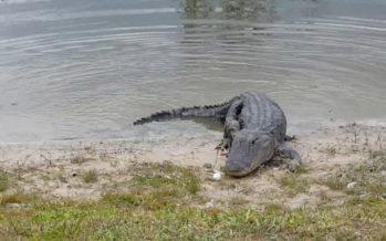 Un alligator mange la balle de golf des joueurs (vidéo)