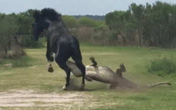 Un cheval sauvage attaque un alligator en Floride (vidéo)