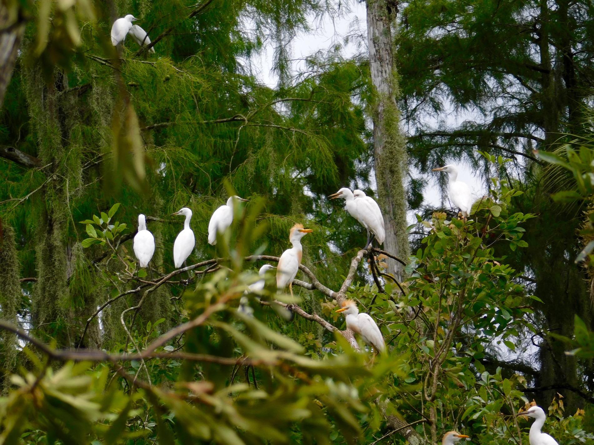 Billie swamp safari floride 6230 le courrier de floride for Chambre de commerce quebec floride