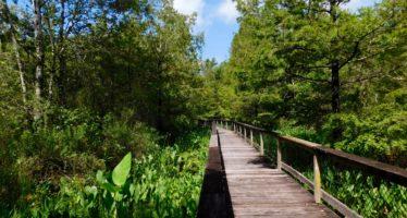 Bird Rookery Swamp : une partie sauvage des Everglades près de Naples