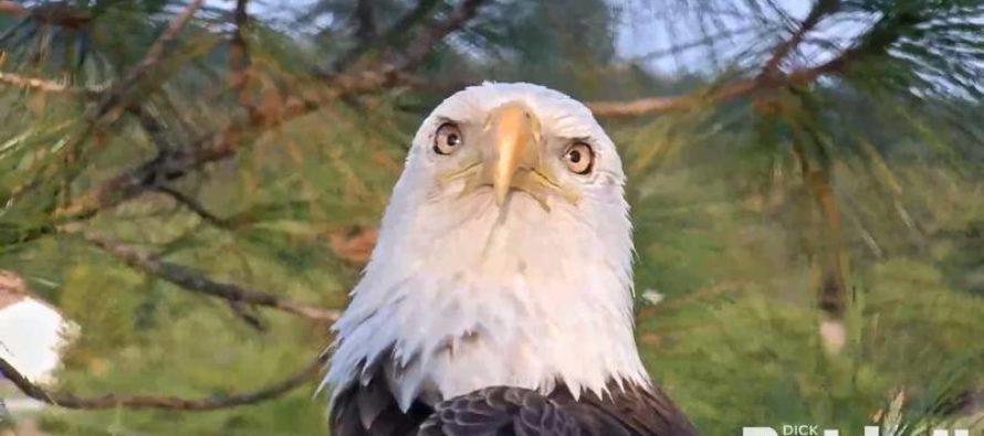 Découvrez Harriet : l'aigle à tête blanche de Fort Myers