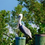 Pélican dans le Biscayne National Park de Homestead.