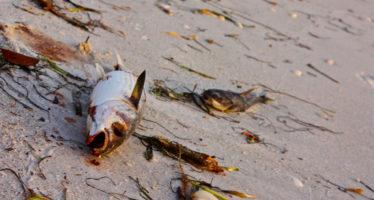 Alerte : les deux côtes de Floride touchées par les algues toxiques
