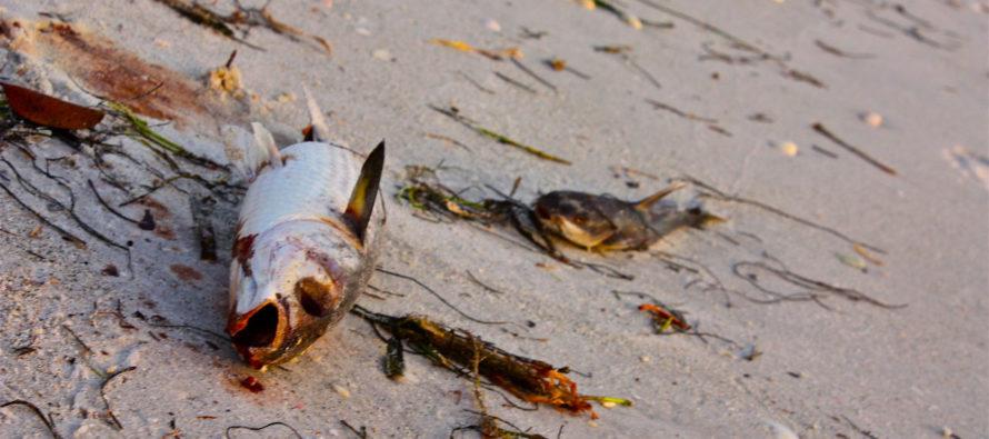 Alerte marée rouge en Floride