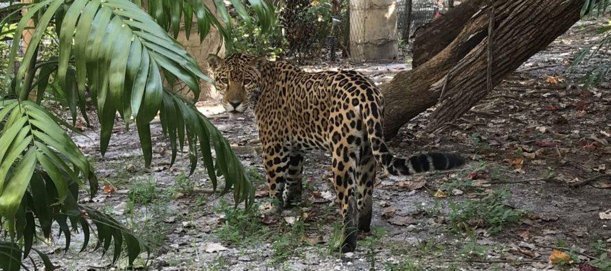 Voici un drôle de Snowbird québécois, et qui va rester à Palm Beach : Zooka le jaguar !