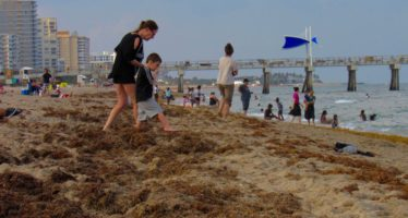Floride : La côte atlantique sud envahie par les algues sargasses