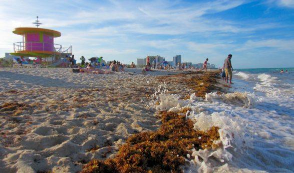 Infos sur la présence potentielle d'algues invasives à Miami et en Floride