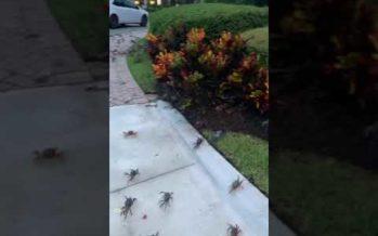 Vidéo : invasion de crabes bleus à Stuart en Floride