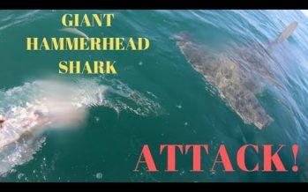 Vidéo : Un pêcheur de Floride se fait voler son tarpon par un requin-marteau